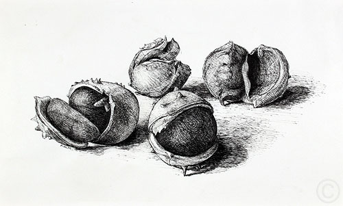 Chesnuts - drawing  by Ruth deMonchaux