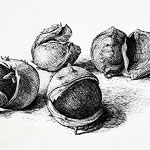Chesnuts drawing  by Ruth deMonchaux