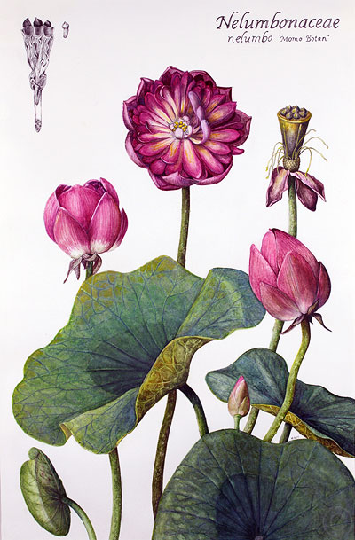 Lotus - watercolour by Ruth deMonchaux