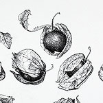 Physalis drawing by Ruth deMonchaux