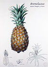 Pineapple by Ruth deMonchaux
