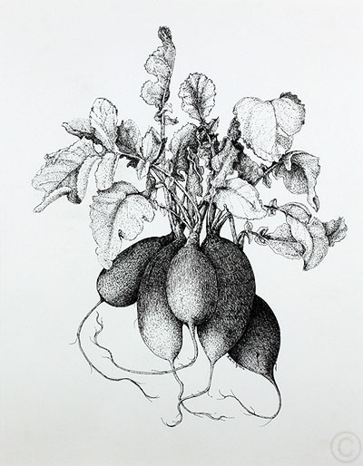 Radishes - drawing  by Ruth deMonchaux