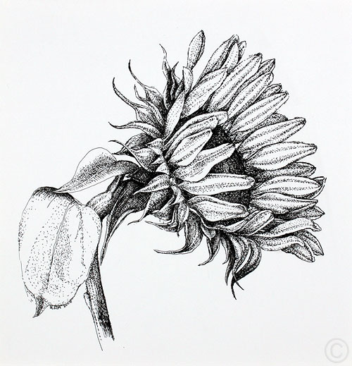 Sunflower - drawing  by Ruth deMonchaux