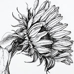 Sunflower drawing by Ruth deMonchaux